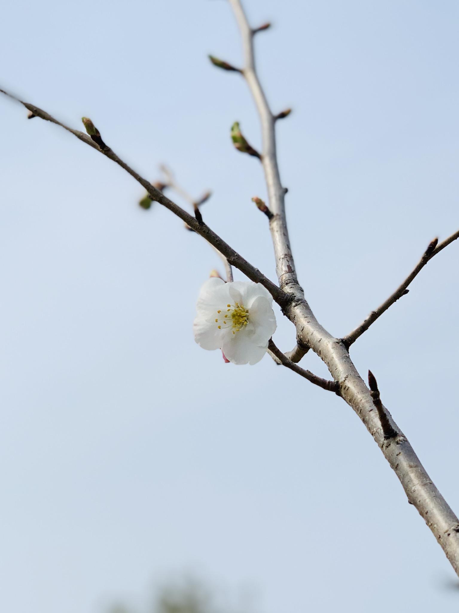 三河みとマリーナ 開花宣言!